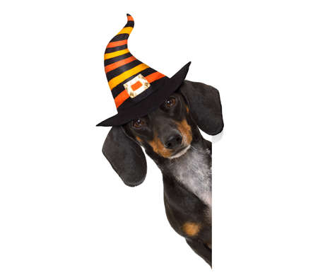 Photo for halloween devil sausage dachshund dog  scared and frightened, isolated on white background, wearing a witch hat, behind white blank banner or placard poster - Royalty Free Image