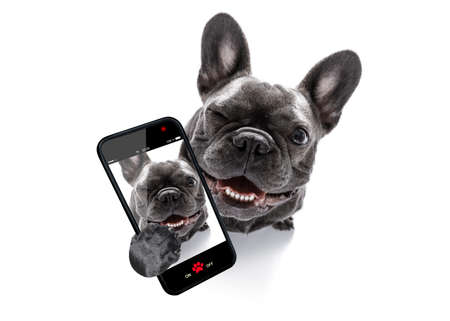 Photo for curious french bulldog dog looking up to owner taking a selfie or snapshot with mobile phone or smartphone - Royalty Free Image