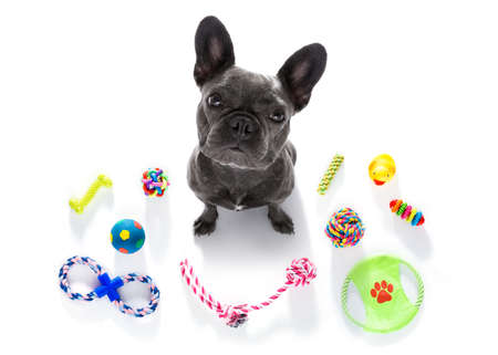 Foto de curious french bulldog  dog looking up to owner waiting or sitting patient to play or go for a walk,  isolated on white background, with a lot of pet toys - Imagen libre de derechos
