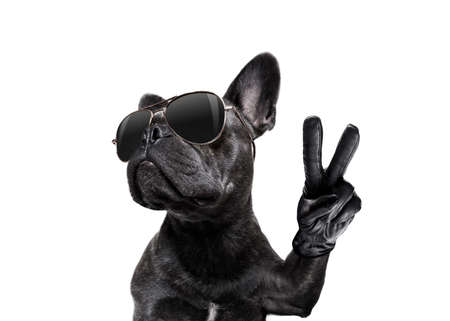 Photo for cool trendy posing french bulldog with sunglasses looking up like a model , with peace or victory fingers , isolated on white - Royalty Free Image