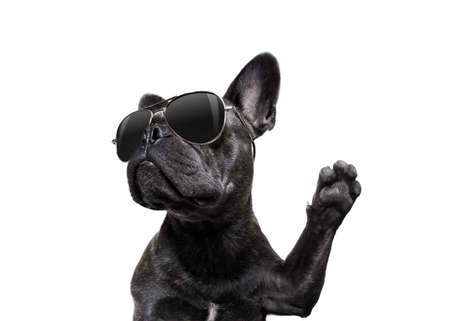 Photo for cool trendy posing french bulldog with sunglasses looking up like a model , isolated on white background, with paw high five - Royalty Free Image