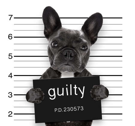 Photo for criminal mugshot  of french bulldog dog at police station holding guilty placard , isolated on background - Royalty Free Image