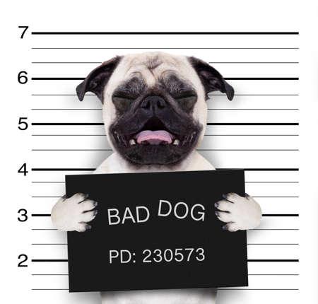 Photo for criminal mugshot  of pug  dog at police station holding placard , isolated on background - Royalty Free Image