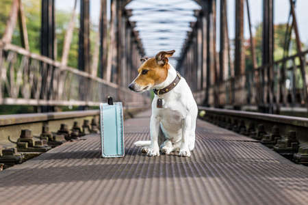 lost  and homeless  jack russell dog abandoned at rail train track on a bridge,  waiting to be adopted