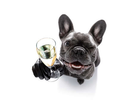 Photo for french bulldog dog celebrating new years eve with owner and champagne  glass isolated on white background , wide angle view - Royalty Free Image