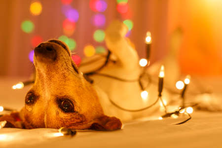 Foto de jack russell dog resting and enjoying this christmas holidays with fancy fairy lights and looking cute at you ( low light photo) - Imagen libre de derechos