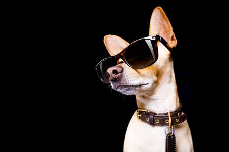 Foto de cool trendy posing chihuahua dog  with sunglasses looking up like a model , isolated on black background - Imagen libre de derechos