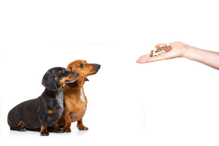 Photo for couple of hungry dachshund sausage dogs , for a treat  by his owner , isolated on white background for a meal or food - Royalty Free Image