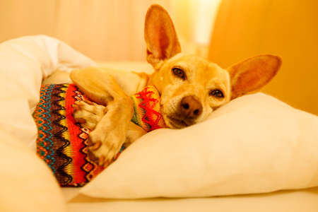 Foto de sick and ill chihuahua  dog resting  having  a siesta or sleeping  with hot water bottle - Imagen libre de derechos