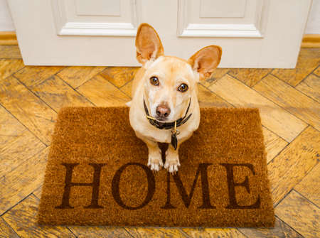 Photo for podenco dog waiting for owner to play  and go for a walk on door mat ,behind home door entrance - Royalty Free Image
