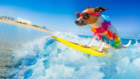 Foto de jack russell dog surfing on a wave , on ocean sea on summer vacation holidays, with cool sunglasses and flower chain - Imagen libre de derechos