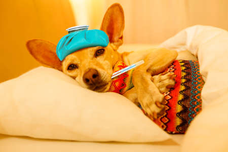 Foto de sick and ill chihuahua  dog resting  having  a siesta or sleeping  with thermometer and hot water bottle - Imagen libre de derechos