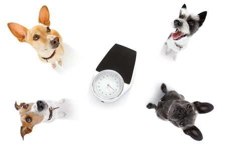 couple of dogs with guilty conscience  for overweight, and to loose weight , standing or sitting beside a personal scale, isolated on white background