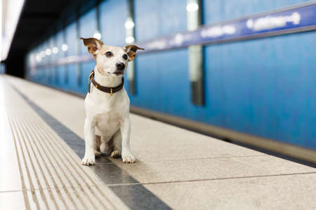 Jack russell dog abandoned and left all alone at the metro rail station or subway, waiting for the owner with love
