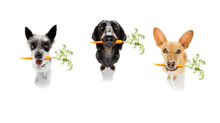 row or team group of dogs  with  healthy  vegan carrot in mouth  , isolated on white background