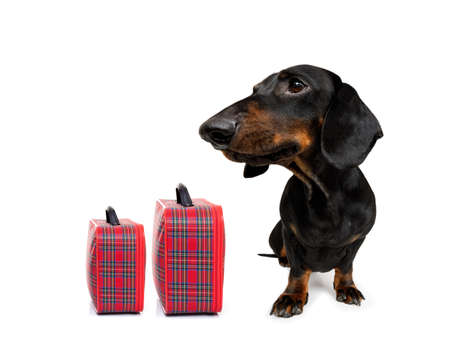 Holiday vacation sausage dachshund dog waiting in airport terminal ready to board the airplane or plane at the gate, luggage or bag to the side