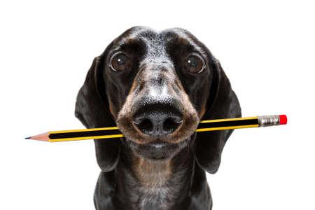 Photo pour Sausage dachshund dog with pencil or pen in mouth - image libre de droit