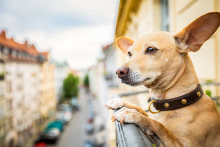 Photo pour nosy watching podenco chihuahua dog form top of balcony, very curious and looking around - image libre de droit