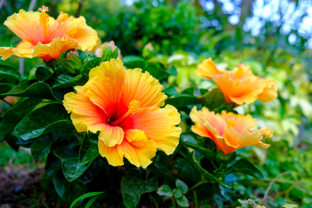 Photo pour Colorful Hawaiian hibiscus in the garden - image libre de droit