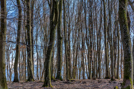 Photo for Beech forest without leaves in spring or autumn in Carpathian mountains. Empty forest tree in sunny day, Natural idyllic place in peaceful wood. - Royalty Free Image