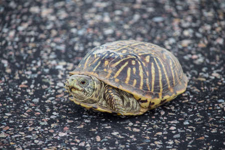 Photo for A small box turtle rests on a paved surface. - Royalty Free Image