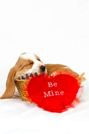 Basset hound puppy sleeping in a basket with a red be my valentine heart