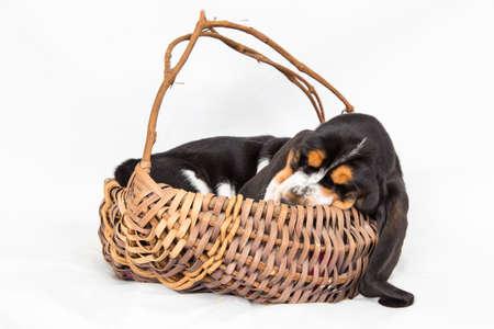 Eight week, black tri-colored Basset hound puppy sleeps in basket on white background