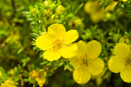Photo for Oenothera - Royalty Free Image
