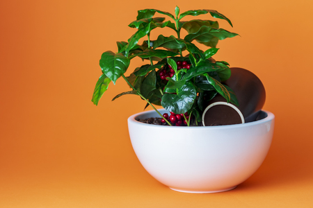 Foto de Coffee plant in white pot on orange background - Imagen libre de derechos