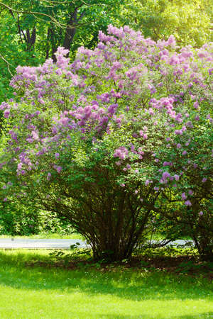 Photo pour Lilac or common lilac, Syringa vulgaris in blossom. Purple flowers growing on lilac blooming shrub in park. Springtime in the garden. Poland. - image libre de droit