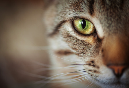 Foto de Closeup of tabby cat face. Fauna background - Imagen libre de derechos