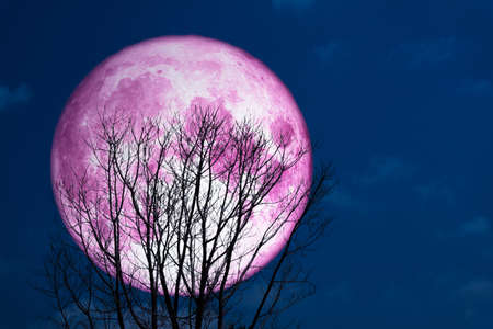Photo pour super full pink moon back on silhouette tree in dark on the sky - image libre de droit