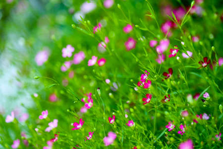 Foto für colorful beautiful pink gypsophila bouqitue flower in the garden - Lizenzfreies Bild