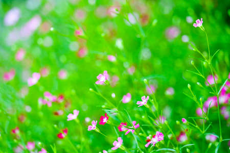 Foto für colorful beautiful pink gypsophila boutique flower in the garden - Lizenzfreies Bild