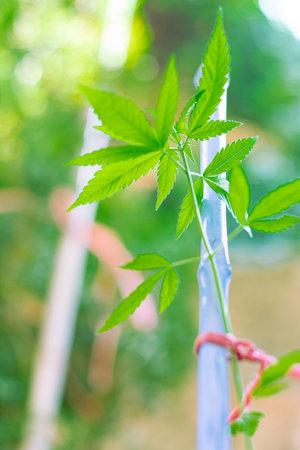 cannabis sativa plant, green marihuna