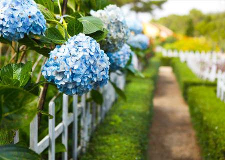 Foto de Blue Hydrangea flower (Hydrangea macrophylla) in a garden. Close-up. Copy space - Imagen libre de derechos