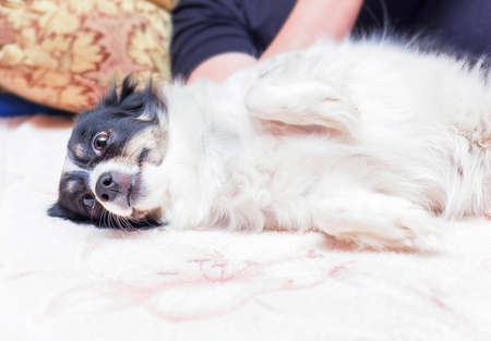 Ptretty black and white dog lies in relaxation