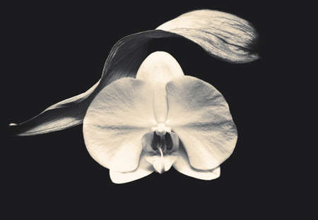 Photo pour Tender white opened orchid  in black and white little sepia - image libre de droit