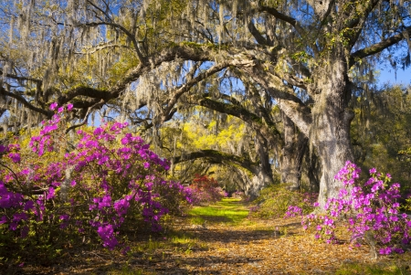 Spring Flowers Charleston SC Azalea Blooms Deep South Landscape Photography with live oak trees in morning sunlight