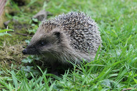 Photo for Wild hedgehog - Royalty Free Image
