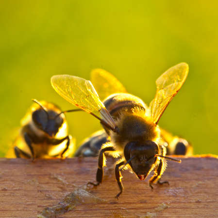 Photo pour Young bees learn about the world around them. - image libre de droit