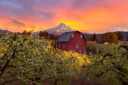 Foto de Sunset over Mount Hood and Red Barn in Pear Orchard in Hood River Oregon during Spring season - Imagen libre de derechos