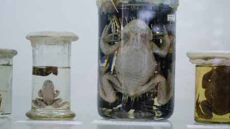 Photo pour Toad preserved in formaldehyde in glass jar with back lighting. Preserved specimens of frogs. - image libre de droit