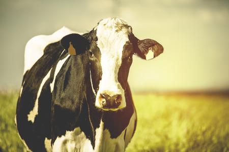 Foto de Dairy cow on the countryside. Vintage style postcard. - Imagen libre de derechos