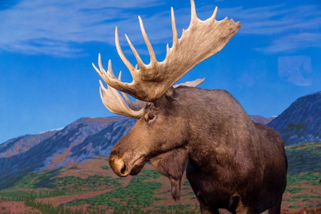 Photo for Male Moose Against Backdrop of Mountains - Royalty Free Image