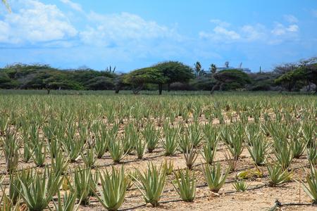 Foto de Field of Aloe Vera on Aruba - Imagen libre de derechos