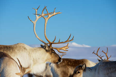 Photo pour Reindeers in natural environment with a deep blue sky at the background in Tromso region, Northern Norway. - image libre de droit