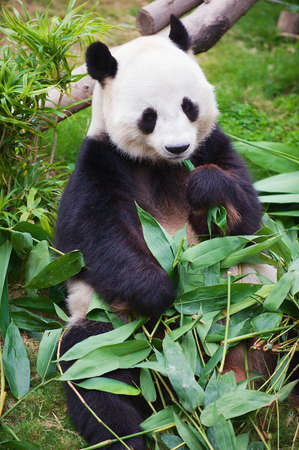 Photo pour Giant panda bear eats bamboo leaves in a zoo in the Ocean park in Hong Kong, China. - image libre de droit