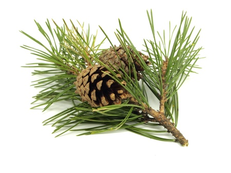 Foto de Pine branch with cones on a white background - Imagen libre de derechos