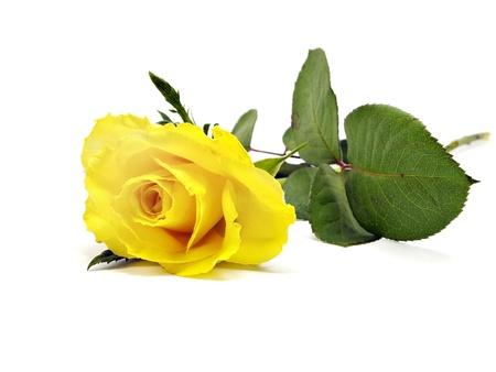 Foto de yellow rose on a white background - Imagen libre de derechos